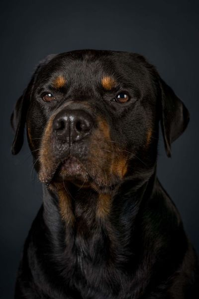 Dog Pets Black Color Portrait One Animal Domestic Animals Studio Shot Black Background Looking At Camera Mammal No People Animal Themes Close-up Outdoors Rottweiler Rottweileroftheday Day Pet Portraits
