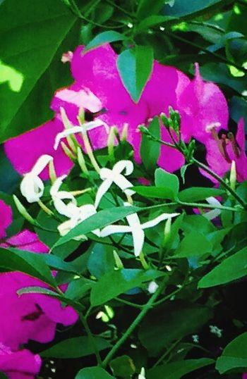Eye Em Best Shots - Nature Flower Collection Jasmine Flower Loving Flowers