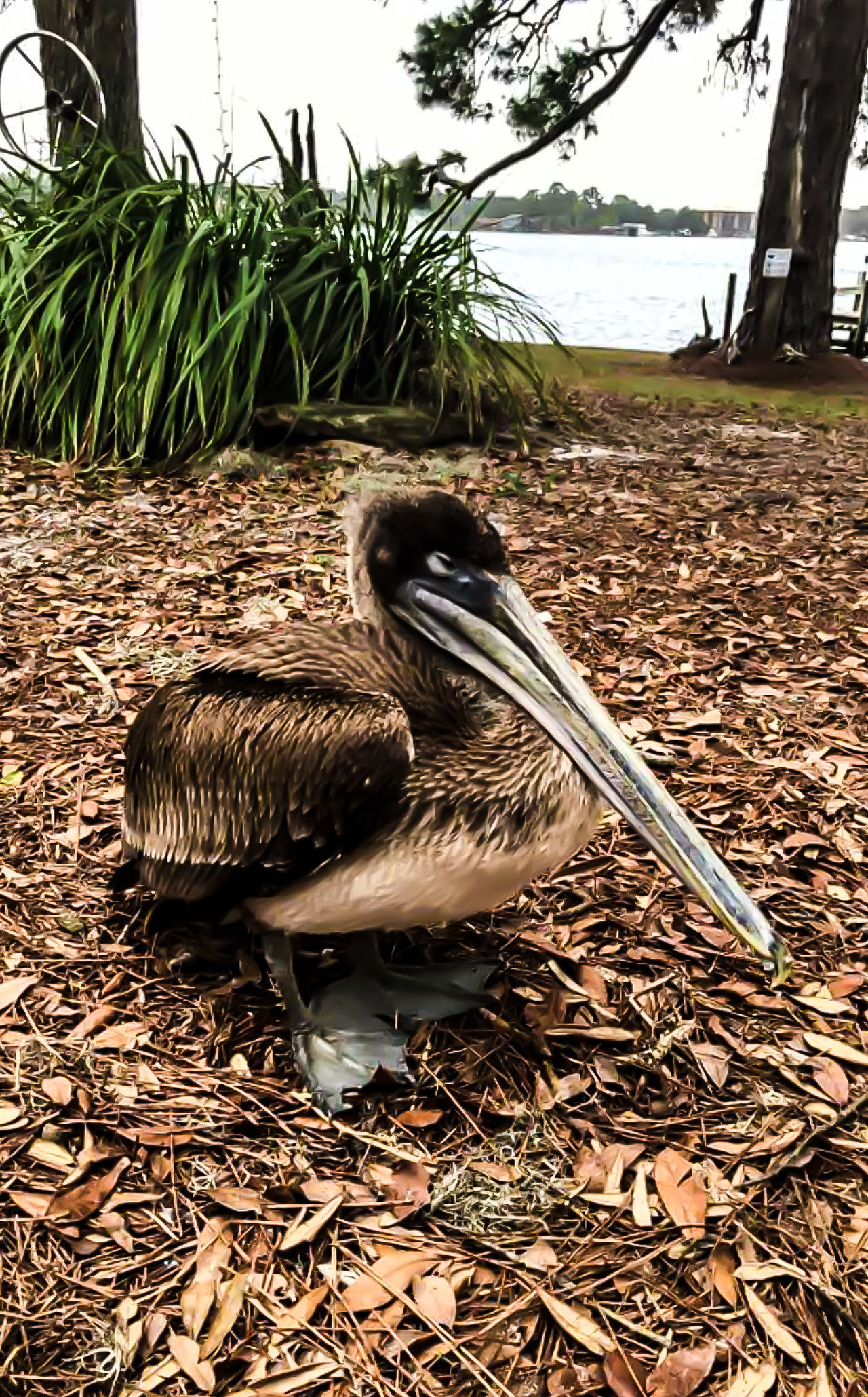 Pelican Bird Bird Photography Sea Bird Birds Of EyeEm  NatureBird Collection Nature Photography Outdoor Photography Animals Animal Photography Long Beak Bird Sitting Bird Sitting On Grass Ocean In Background Water Bird Eyeem Photo