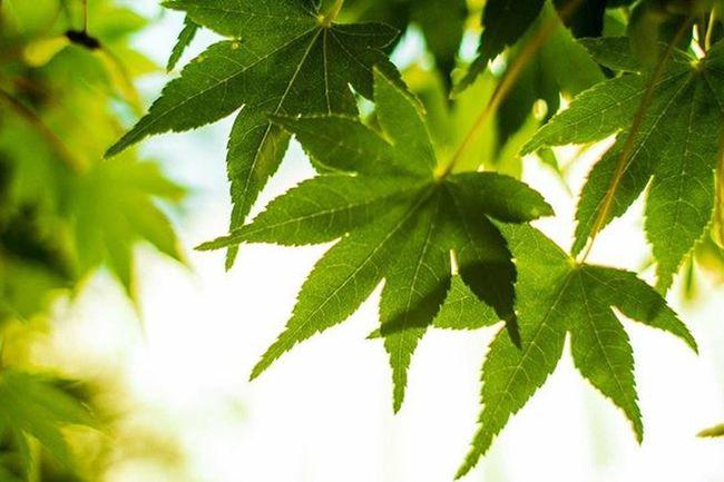 Acer Palmatum Canon T5 28mm Nothc Photographer Green Summer Puppyedition Friends Landscape Lr5 Tree Sun Flowers Weed