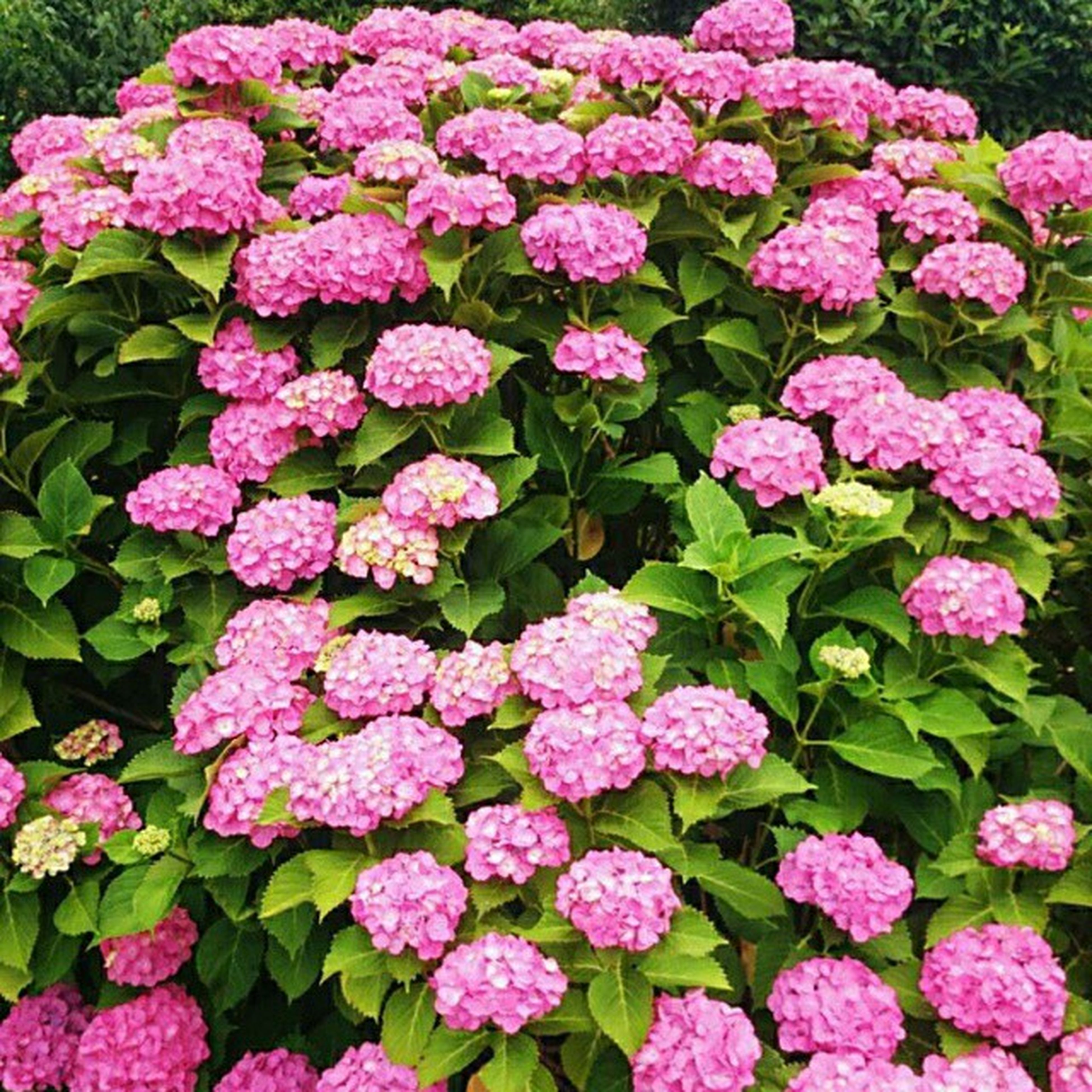 flower, freshness, fragility, petal, beauty in nature, growth, pink color, flower head, blooming, high angle view, plant, nature, purple, abundance, full frame, park - man made space, hydrangea, in bloom, backgrounds, leaf