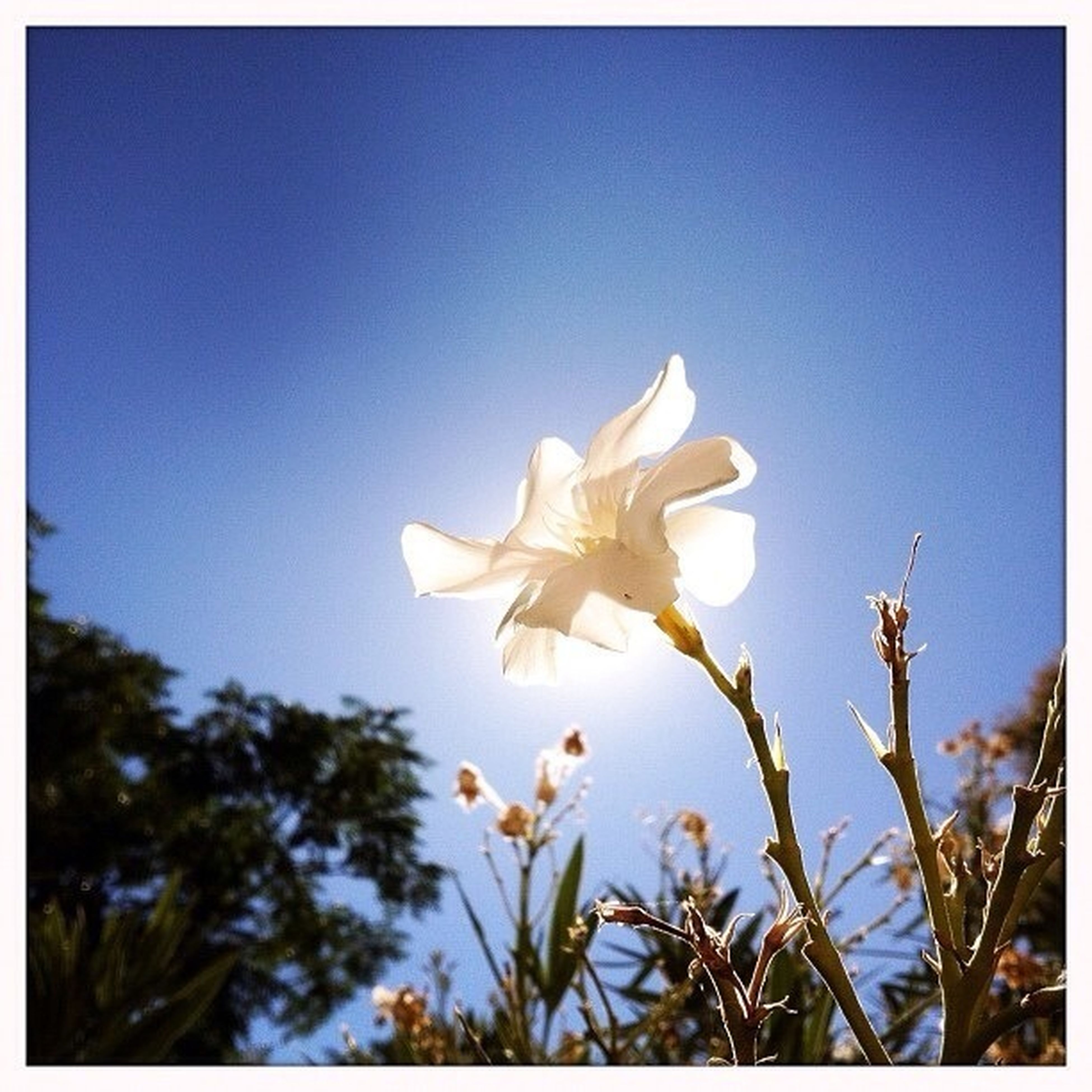 flower, low angle view, clear sky, blue, growth, transfer print, petal, fragility, freshness, sky, copy space, nature, beauty in nature, auto post production filter, blooming, white color, tree, flower head, day, sunlight