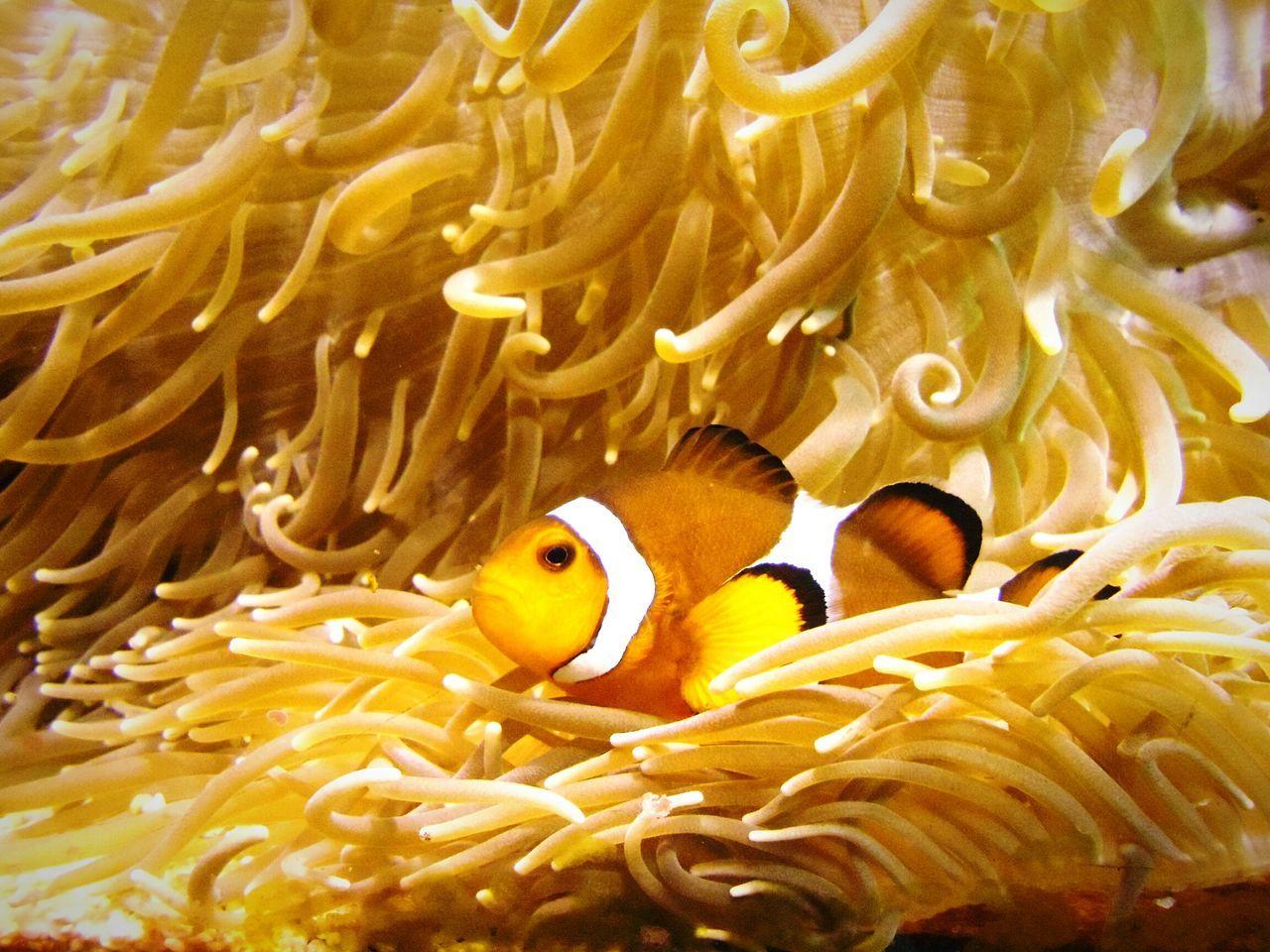 Clown Fish Swimming By Sea Anemone In Aquarium