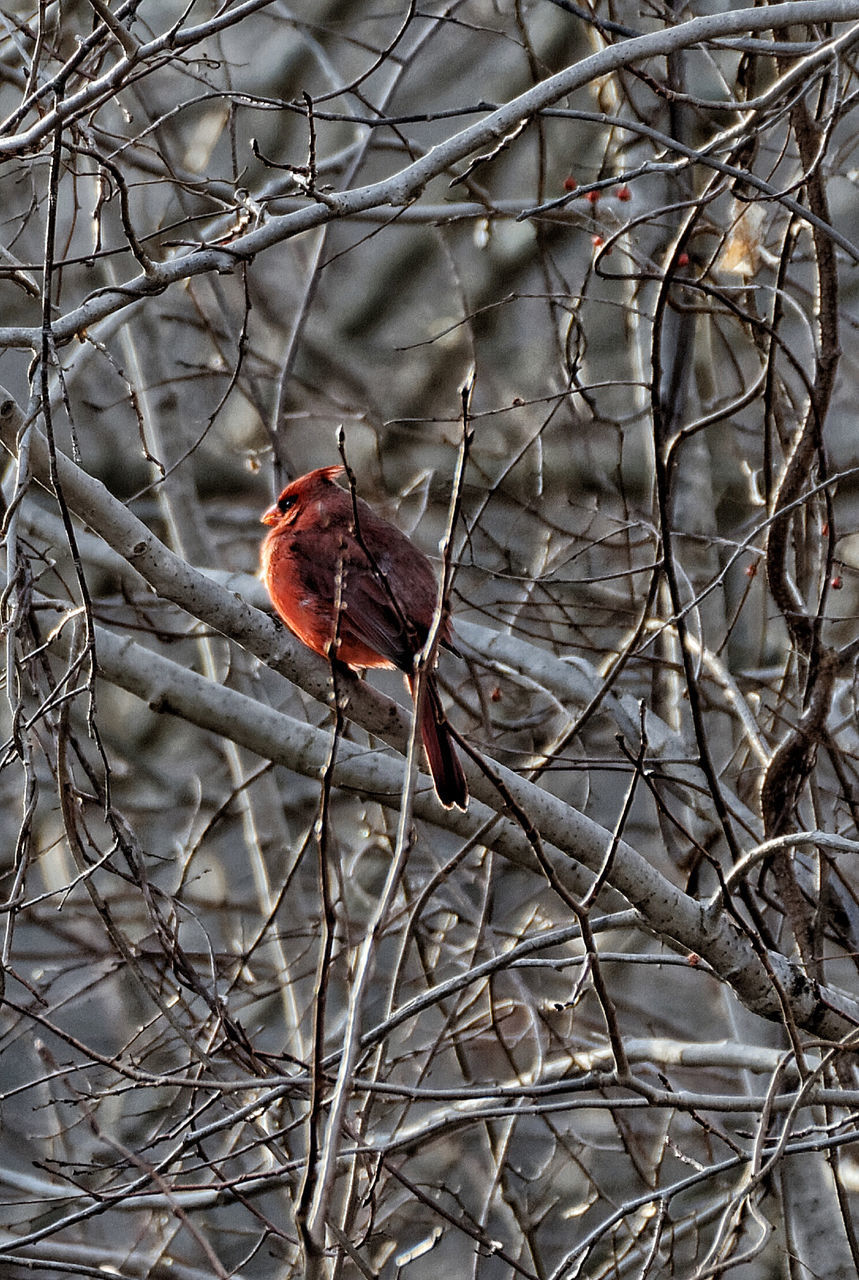 bird, one animal, perching, branch, bare tree, animal themes, animals in the wild, no people, tree, animal wildlife, nature, day, outdoors, red, close-up