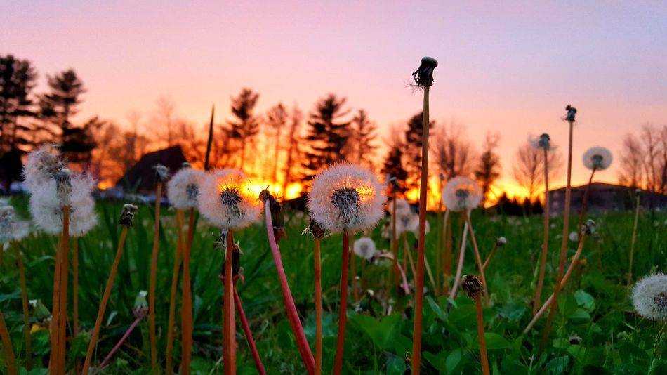 Flower Sunset Nature Beauty In Nature Plant Grass Growth Fragility Dusk Wildflower Outdoors Freshness Flower Head Field New Life Sky Close-up Crocus Seed No People Dandelion Dandelions Dandelion Seeds Dandelion In Spring Dandelion Macro