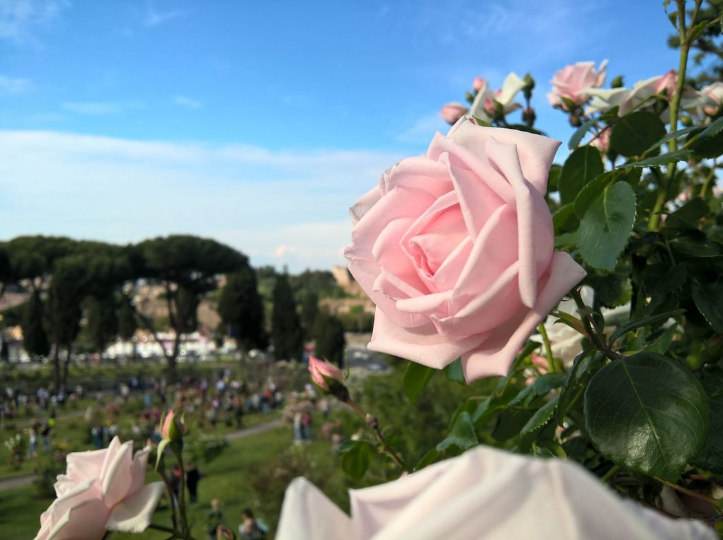 No Edits No Filters No Filter Taking Photos Roses Rose🌹 Rose Garden Flower Flower Collection Flowers Flower Photography Pink Pink Color Pink Flower Pink Rose May Spring Springtime Mothersday Giardino Roseto Rome Roma Italy
