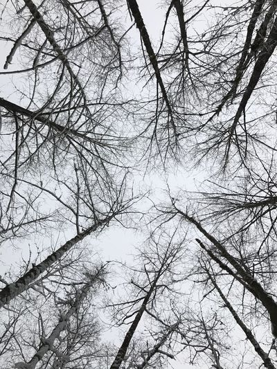 Beauty In Nature Nature Tree Branch Bare Tree Tranquility Outdoors Cold Temperature Sky Snow Snowy Trees Wintertime Get Outside Tall Trees Lookingup Scenics