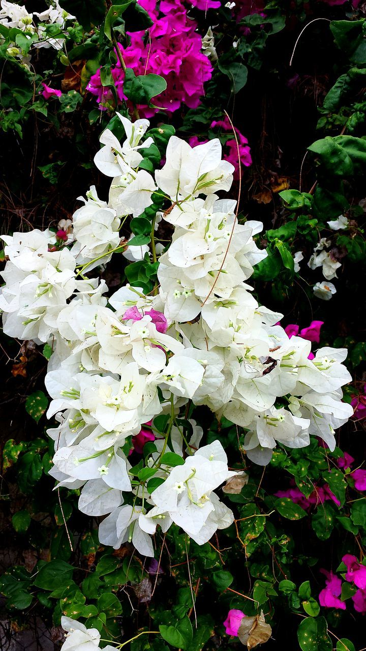 flower, growth, white color, nature, beauty in nature, spring, no people, plant, fragility, outdoors, blooming, freshness, day, close-up
