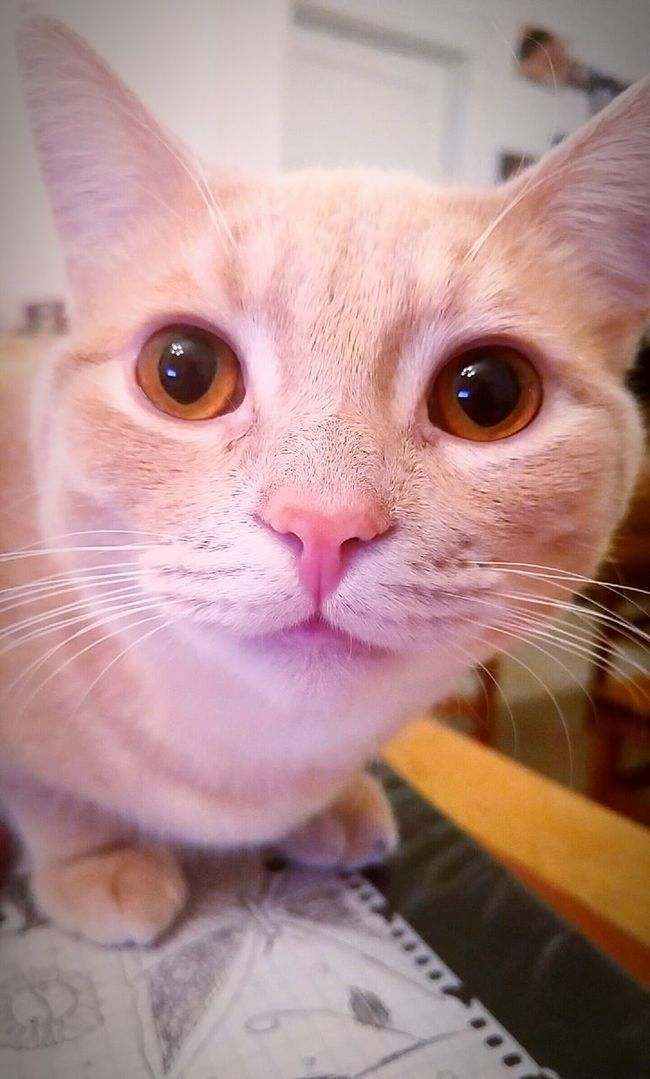 Cat♡ Bbcat Animal_collection Animal Photography EyeEm Animal Lover Animal Portrait Cat Portrait Kitty