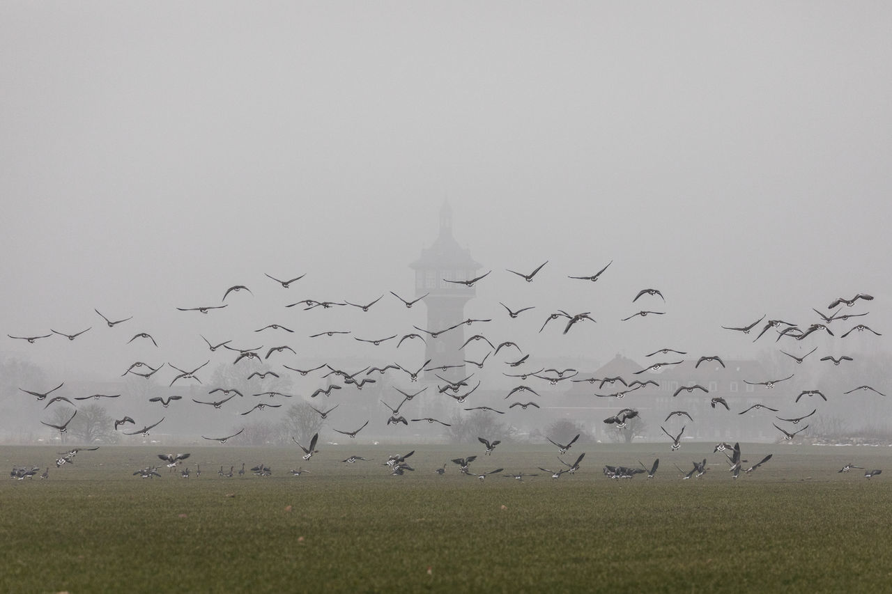 Animals Birds Cold Cold Temperature Flying Fog Foog Gathering Get Together Goose Grass Landscape Migratory Birds Starting Swarm Swarm Of Birds To Scare Tower Village Wet Winter