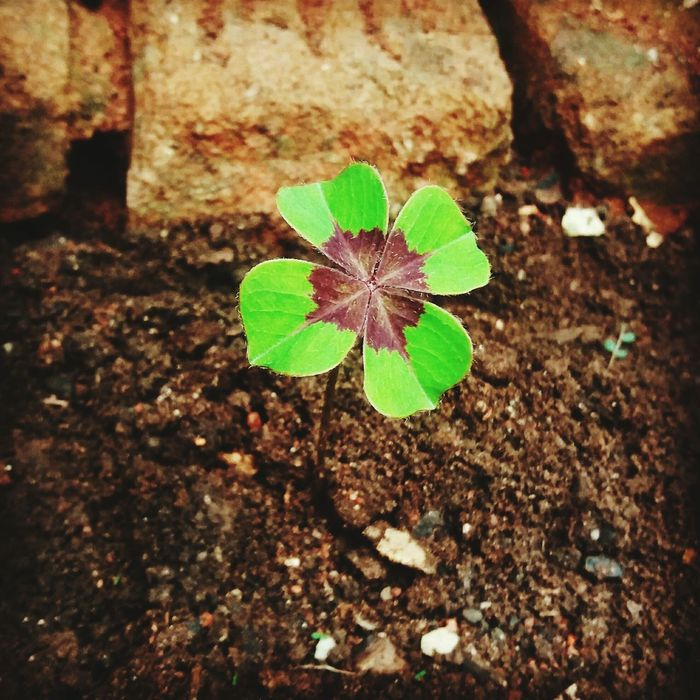 Plant Green Color Lucky Four Leaf Clovers 🍀 First Eyeem Photo