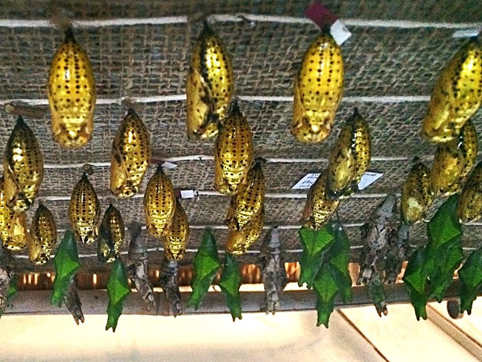 Taking Photos Check This Out butterfly cocoons