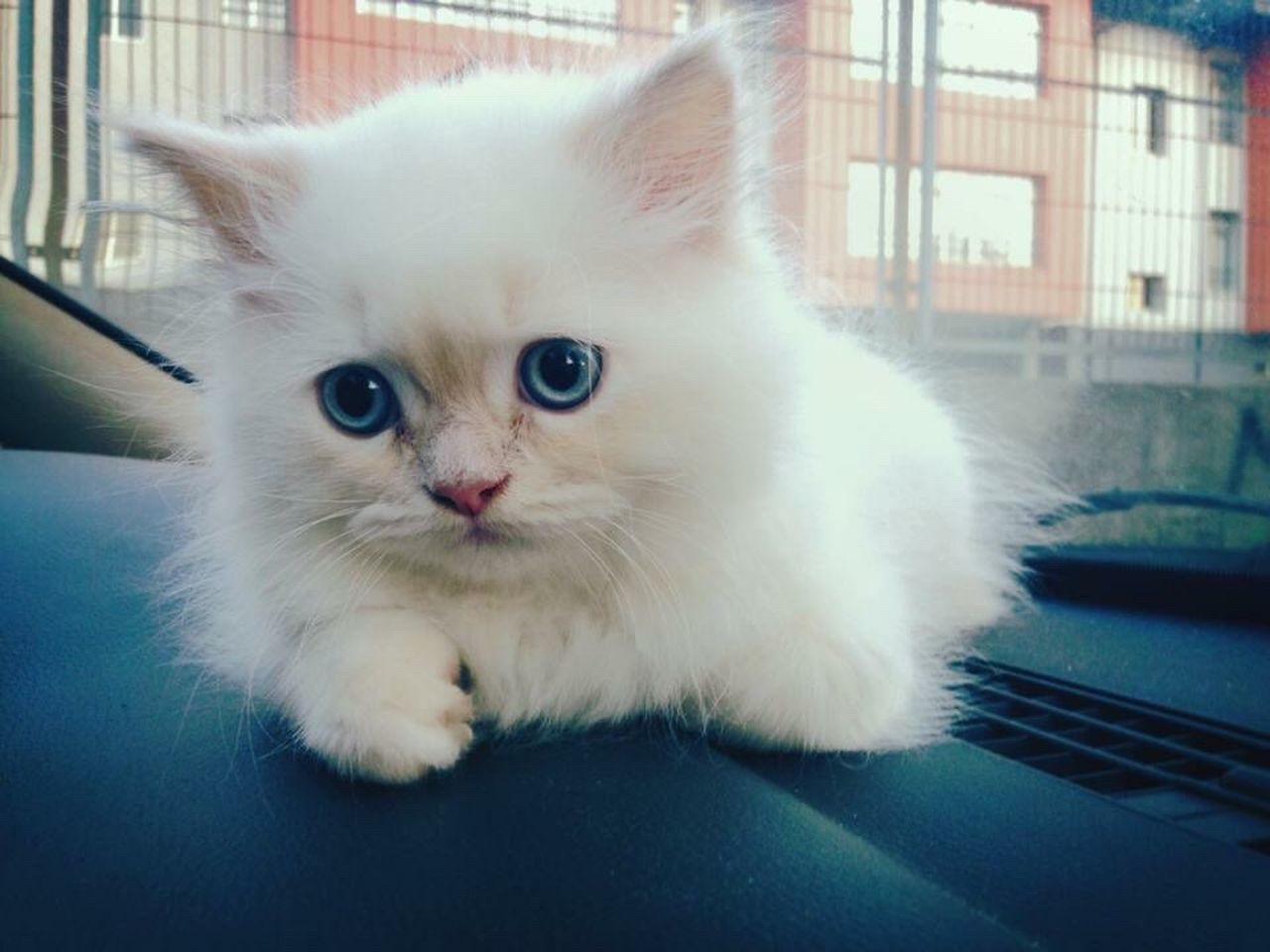 Rest In Peace ❤ Domestic Animals Pets Domestic Cat Animal Themes Mammal One Animal Feline Portrait Whisker Looking At Camera No People Close-up Persian Cat  Indoors  Day Your First Day With Me Cat Lovers Cats Of EyeEm Shawn Rest In Peace