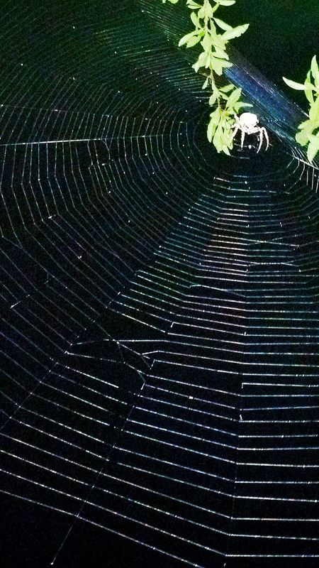 Spiderweb Spider Spider On Web Biggest Spider Web Big Spider 5 Foot Around Web Insect Insect Art Arachnid Photography Night Insects Night Photography Insect Architecture Round Macro Insects Macro Nature Macro Photography Macro Spider Night Animal Shapes In Nature  Shapes And Patterns  Overnight Success