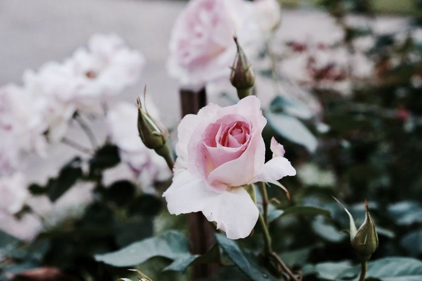 Beauty In Nature Blooming Blossom Close-up Day Flower Flower Head Fragility Freshness Growth Nature No People Outdoors Petal Pink Color Plant Rose - Flower