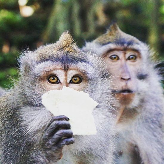 Monkey Forest Bali Ubud Cheeky Hideandseek Yearinreview2015