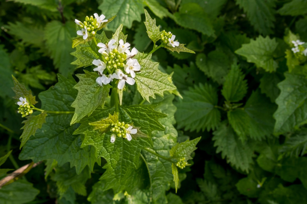 Beauty In Nature Brennnessel Brennnesselblüte Day Flower Freshness Green Color Growth Leaf Nature Nature Photography No People Outdoors Plant Stinging Nettle Stinging Nettles