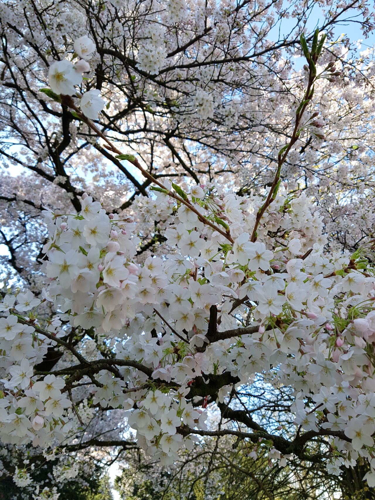 Flowers Branch Tree Nature Blossom Fragility Springtime Full Frame No People Close-up Growth Flower Freshness Sky Spring New Beginnings White Bees Lovely Atmosphere FreeTime Variation s Same Same But Different Plants Beauty In Nature Backgrounds Flower Head