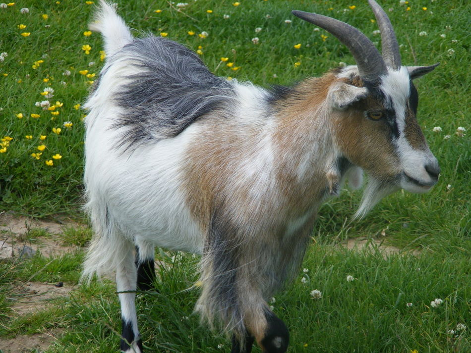 Animal Themes Animals In The Wild Beauty In Nature Goat Grass Nature Nature And Wildlife Photography Wildlife And Nature