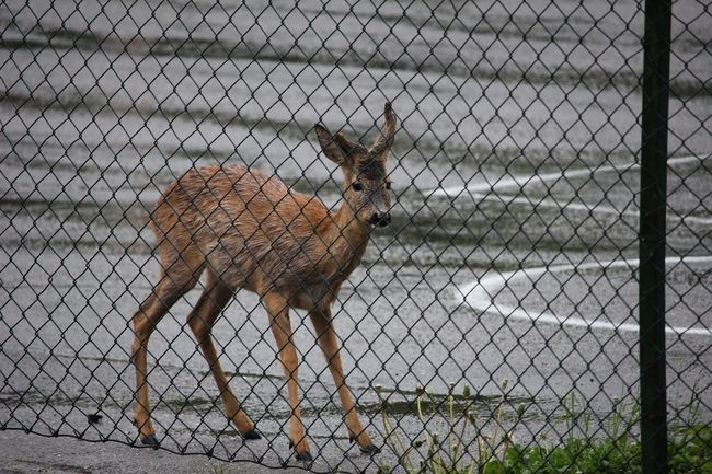 Deer Deers Trapped Out Of Place  Misplaced Wet Wet And Cold Confused Afraid Freed Freedom Seeking Desperation Happy Ending Showcase June