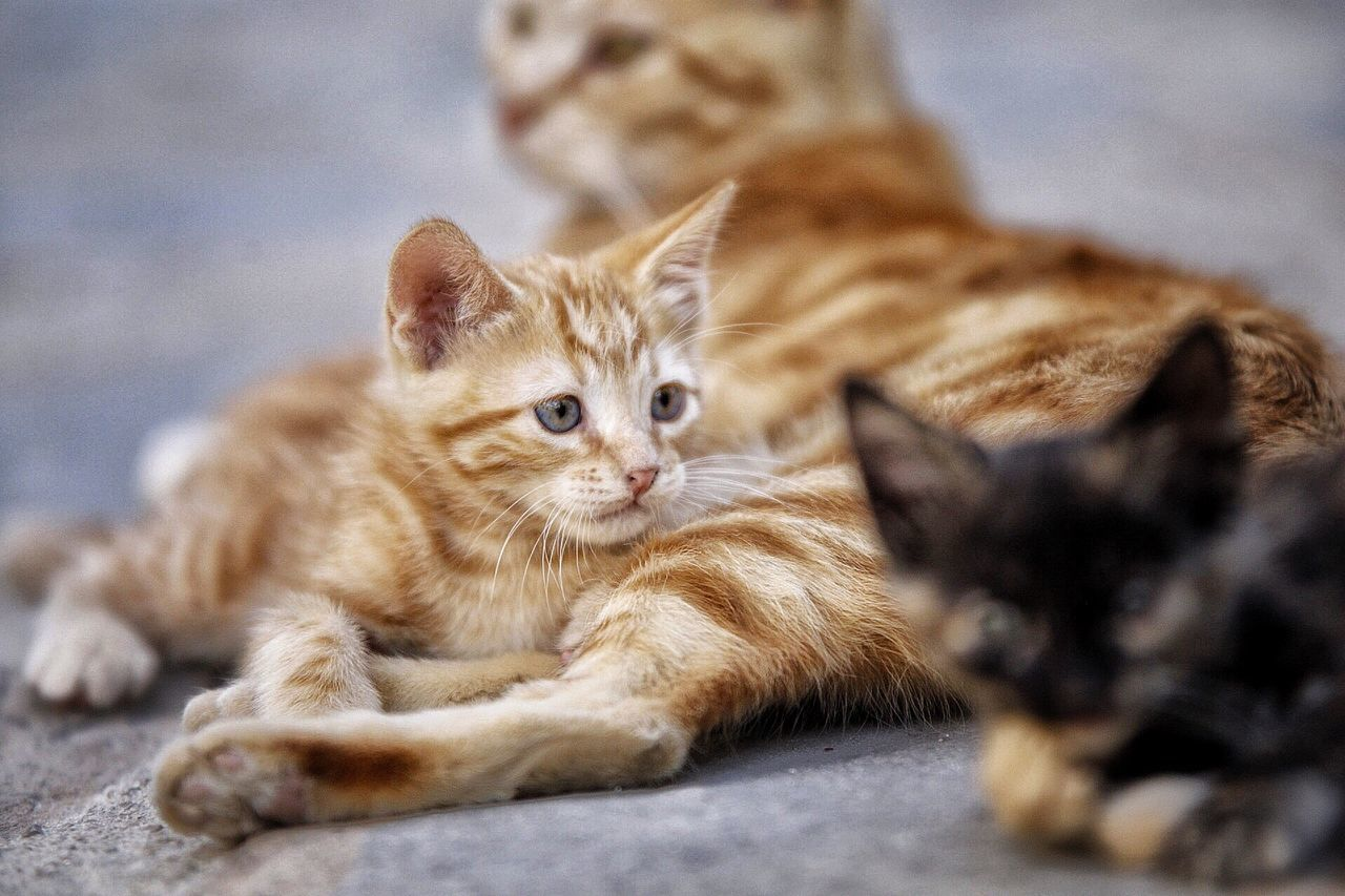 domestic cat, pets, domestic animals, animal themes, mammal, feline, looking at camera, portrait, no people, lying down, one animal, sitting, whisker, indoors, relaxation, ginger cat, close-up, day