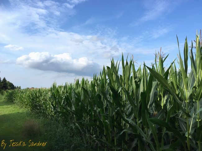 Mais Maisfeld Pflanzen Pflanze  Pflanzenwelt Pflanzen Am Wegesrand Plants Plant Plants 🌱 Nature