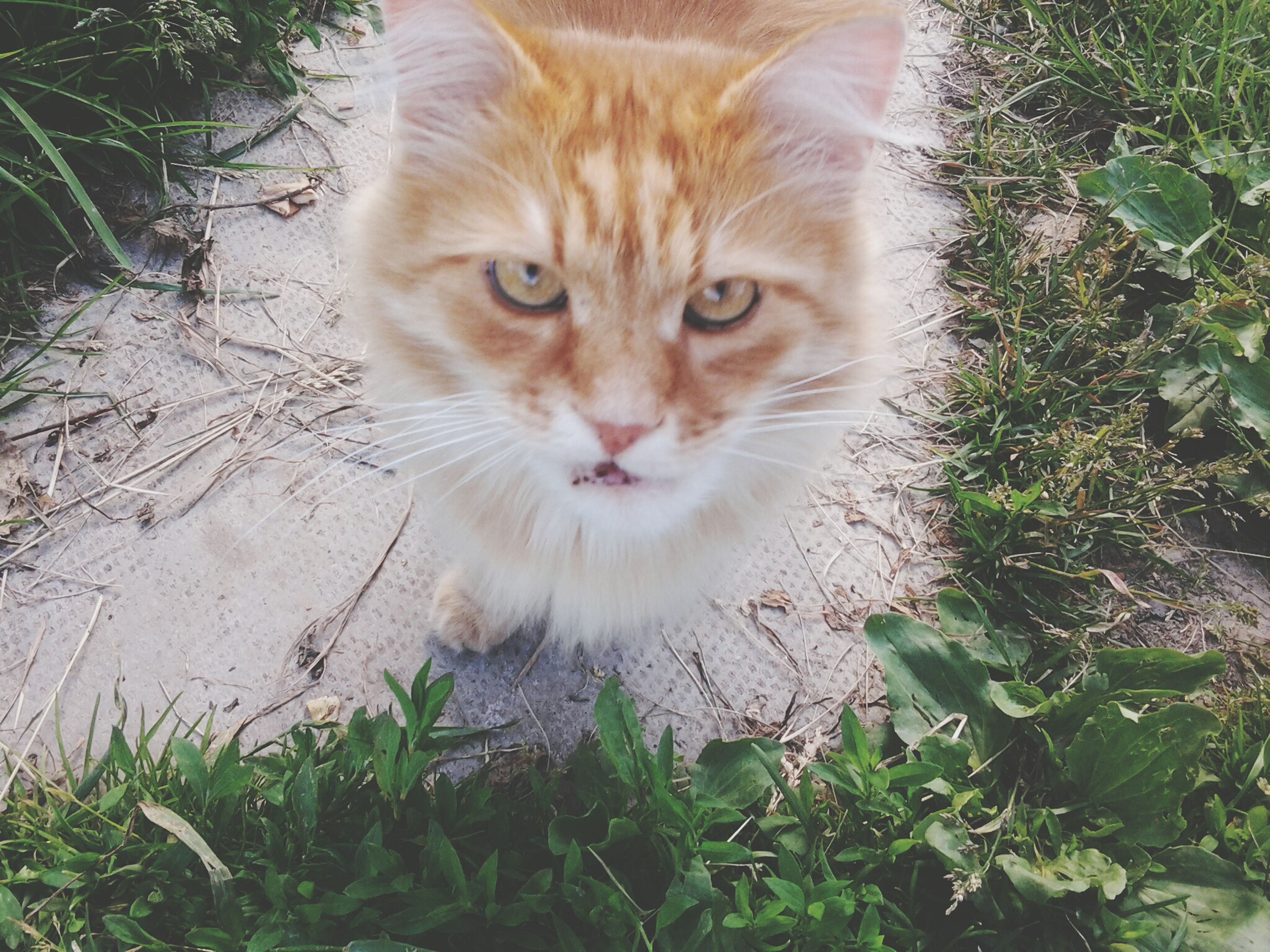 domestic cat, animal themes, one animal, cat, mammal, feline, pets, domestic animals, portrait, looking at camera, whisker, relaxation, plant, sitting, front view, alertness, staring, grass, nature, close-up