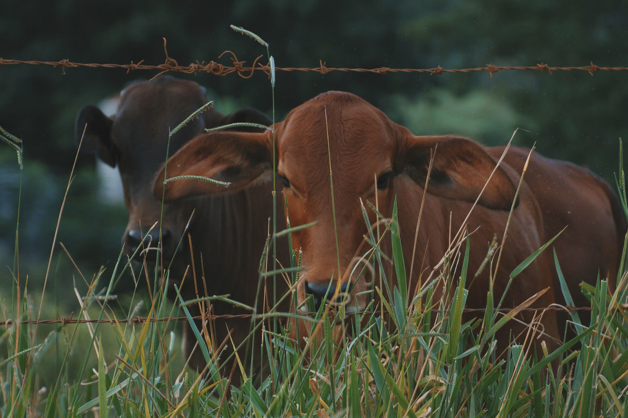 Cows Animal Themes Baby Beautiful Cow Cows Day Domestic Animals Farm Farm Animal Farm Animals Grass Grass Group Mammal Nature No People Outdoors Rural Rural Scene Young Cow