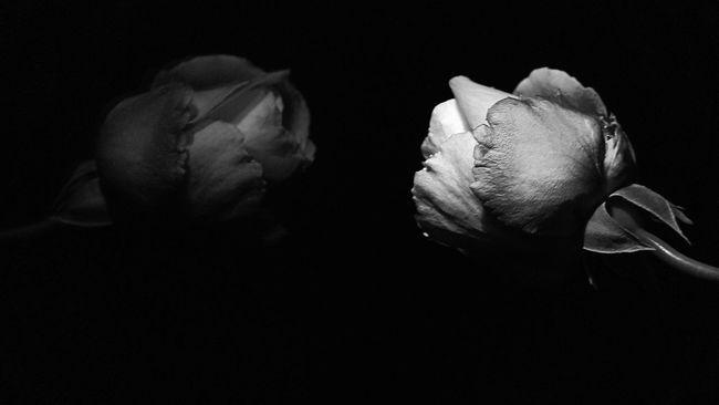 Flower Freshness Petal Fragility Close-up Flower Head Studio Shot Rose - Flower Black Background Beauty In Nature Blackandwhite Photography Bw_collection EyeEm Best Shots - Black + White In Bloom Softness Single Flower Blossom Darkroom Botany Russia Canon EyeEm Best Shots Blackandwhite Black And White Black & White