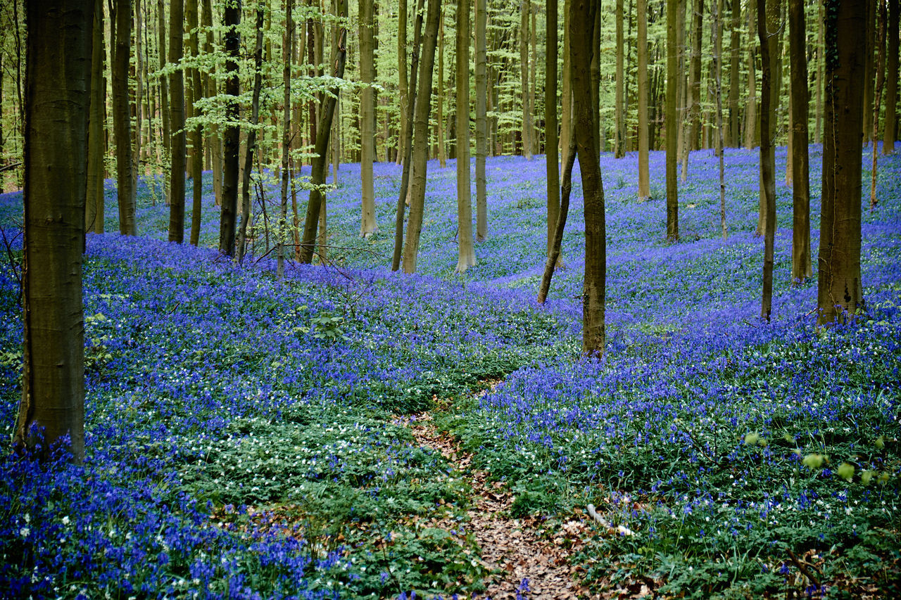 Memories of Bois de Hal - Beauty In Nature Blue Blue Bells Bluebells Flower Forest Freshness Grass Green Color Growth Hallerbos Landscape Nature No People Outdoors Plant Purple Scenics Spring Tranquil Scene Tree Tree Trunk Wood