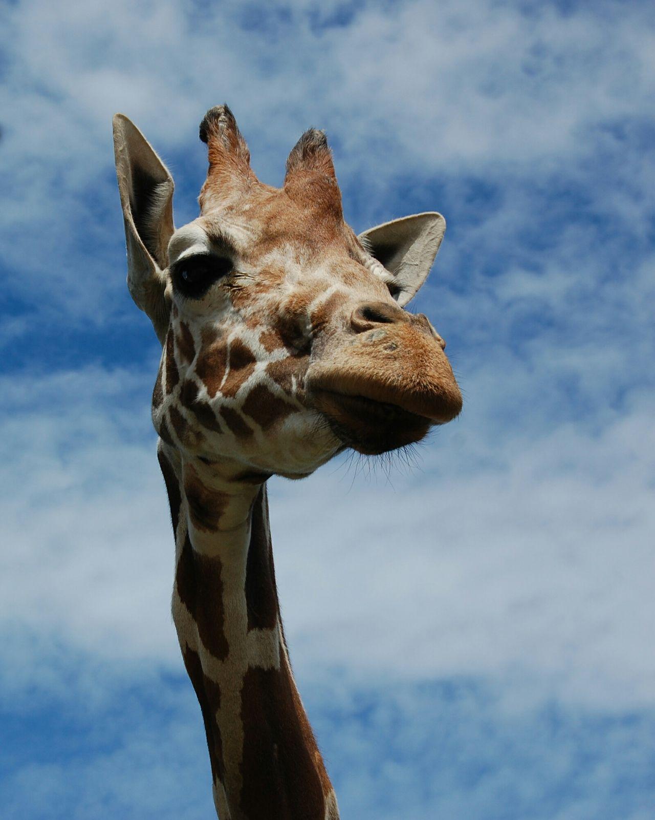 Summer Kaliningrad Zoo Taking Pictures Giraffe Sky