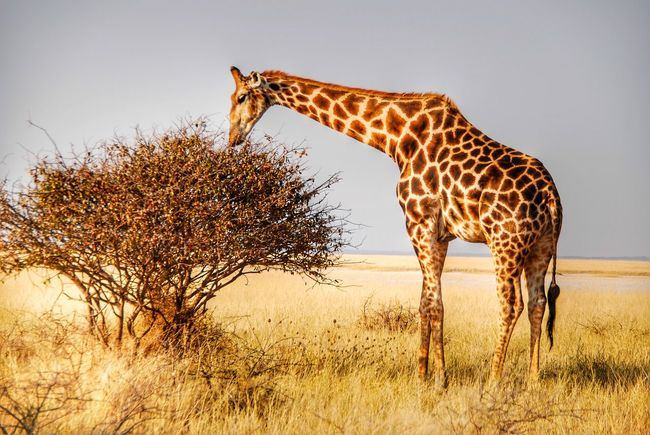 Giraffe in Etosha National Park, Namibia Etosha Etosha National Park Namibia Safari Africa Wildlife Wildlife & Nature Animals Animals In The Wild Giraffe Nature Nature_collection Nature Photography Wildlife Photography