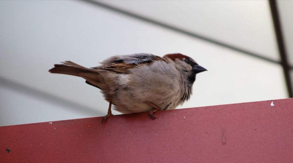 One Animal Bird Animal Themes Animals In The Wild Perching Day No People Animal Wildlife Sparrow Full Length Close-up Nature Outdoors Fat Bird Cute Bird Textures And Surfaces Feathers Of A Bird