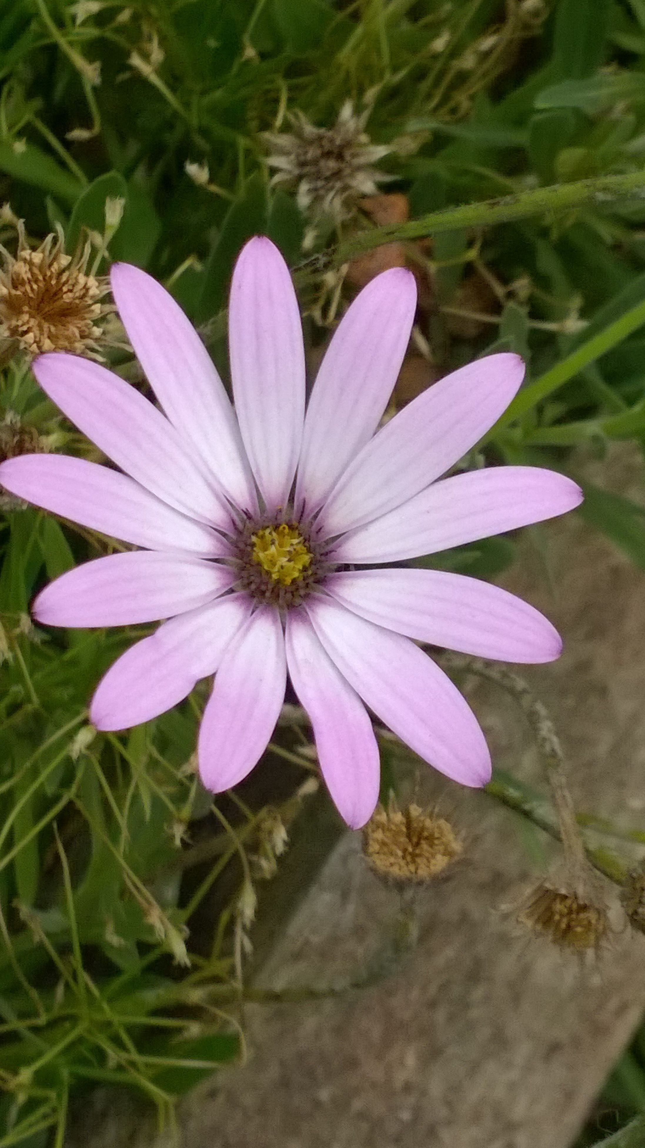 flower, petal, freshness, fragility, flower head, growth, beauty in nature, single flower, blooming, purple, nature, high angle view, close-up, plant, pollen, focus on foreground, in bloom, field, pink color, leaf