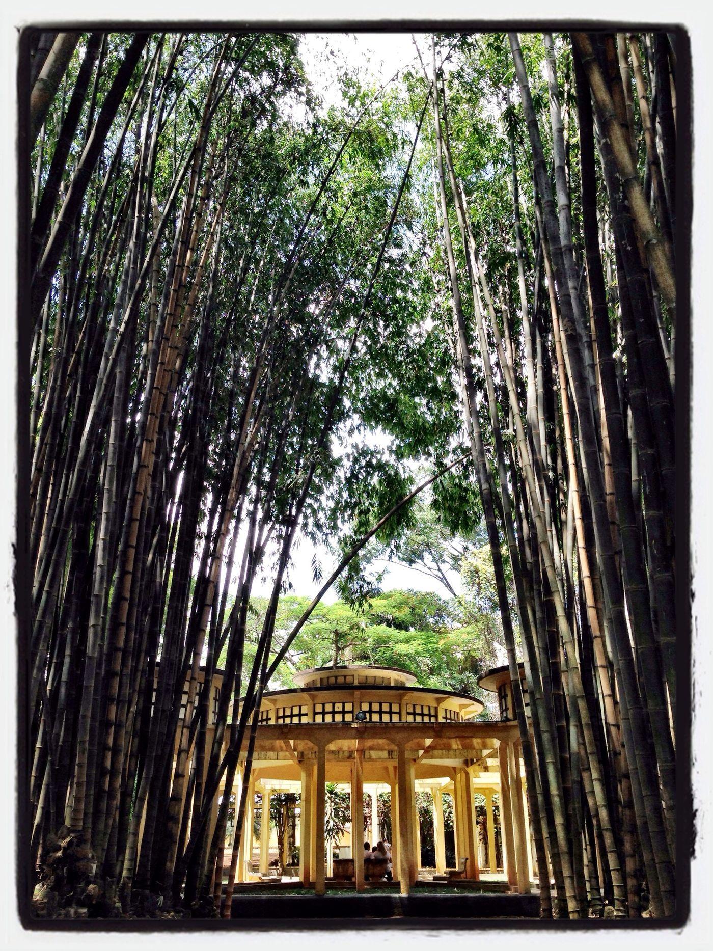 Bamboo Walking Around Bambuzal