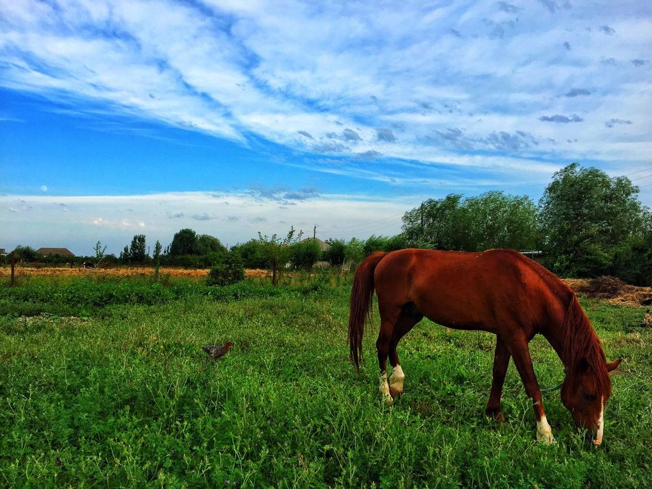 Animal Themes Horse Domestic Animals Livestock Field Grass One Animal Sky Blue Mammal Brown Grazing Cloud - Sky Herbivorous Green Color Grassy Nature Cloud Day Tranquility