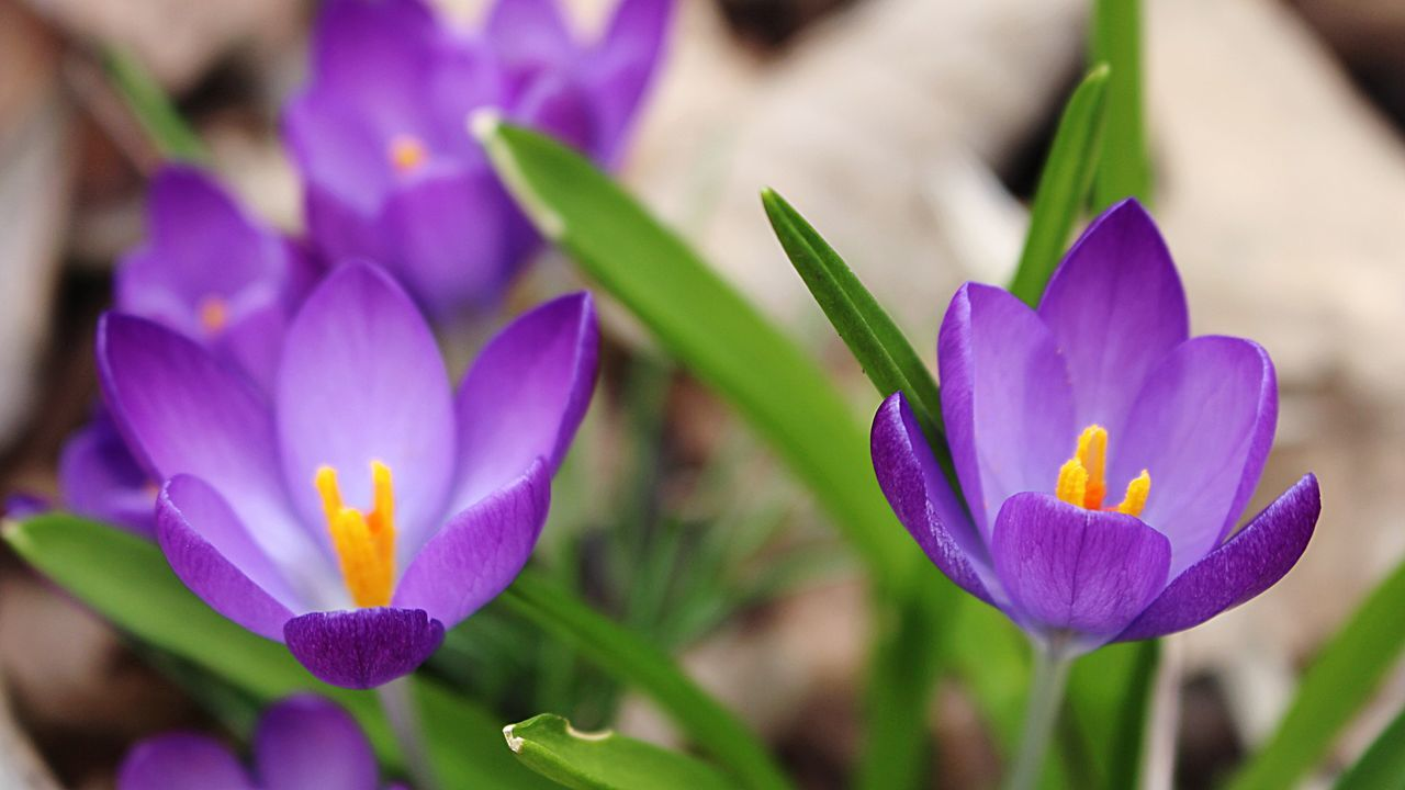 flower, petal, freshness, purple, beauty in nature, growth, fragility, flower head, nature, close-up, plant, day, focus on foreground, blooming, outdoors, no people, crocus