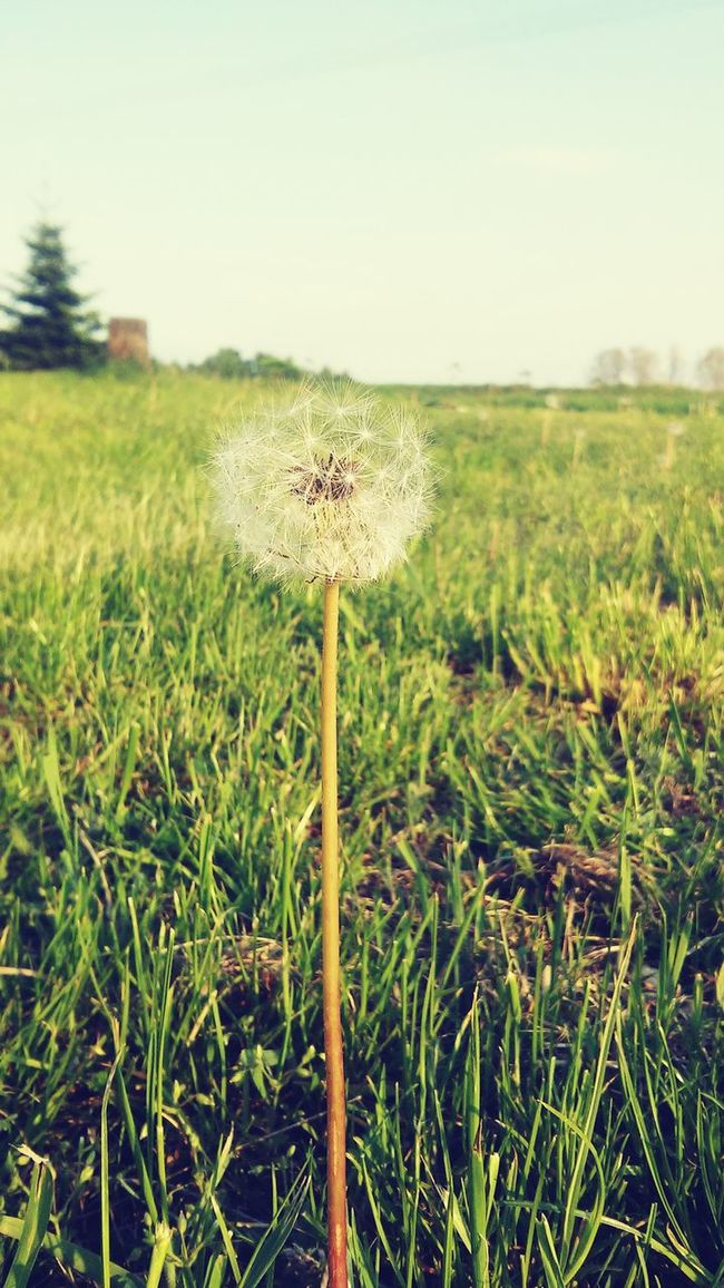 Flower Dmuchawiec