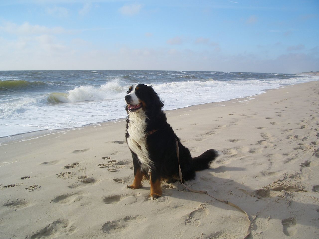 Bernese Mountain Dog Sitting At Beach Against Sky