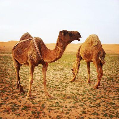افلا ينظرون إلى الابل Camel Bebe Bibi Qassim atmosphere clouds cloudy weather 2013 picture march السعودية ksa camera samsung Saudi Arabia twitter march Nature صورة تصويري تصوير السعودية ksa flickr instagram