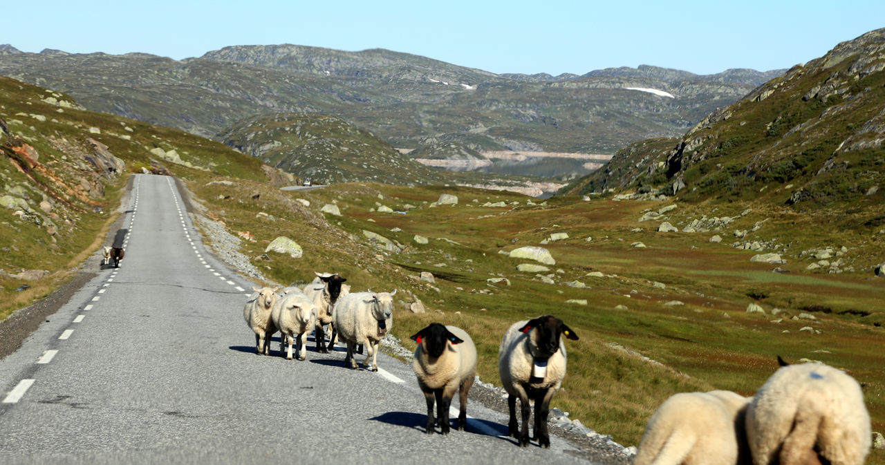 domestic animals, animal themes, mountain, mammal, dog, nature, day, livestock, outdoors, road, pets, mountain range, scenics, landscape, beauty in nature, no people, large group of animals, sky
