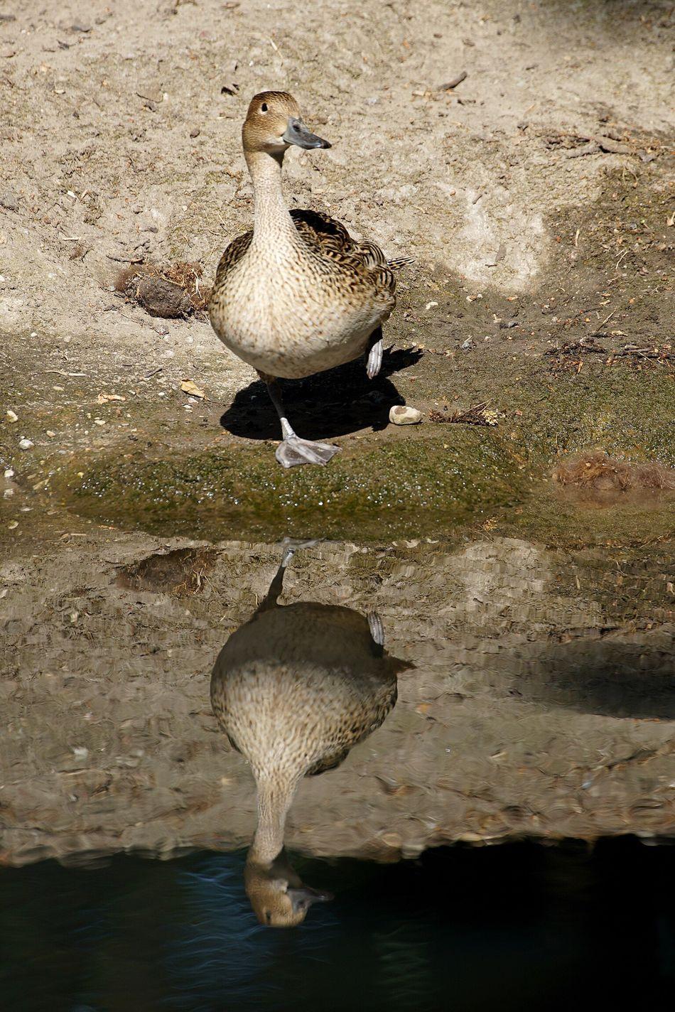 Beautiful stock photos of duck, Beak, Bird, Clear, Close-Up
