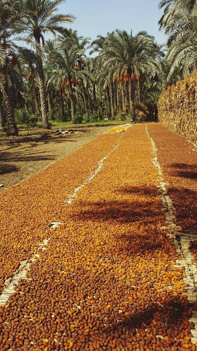 Agriculture Outdoors Day Tree No People Field Rural Scene Sky Nature Dates Tree Dates Fruit Dates Palm Dates Beautifully Sorted Datesfruits Dates Dates Market Factory Countryside Siwa Dates EyeEmNewHere