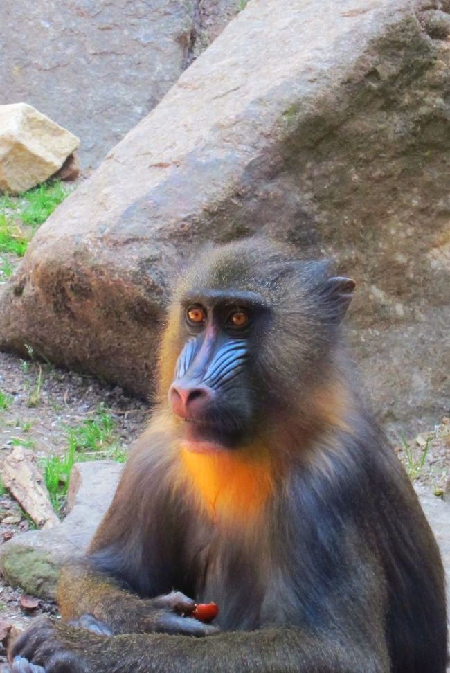 Monkey Zoo Amnéville  Zoo D'amneville Animals Animal_collection Animal Photography Animal Portrait