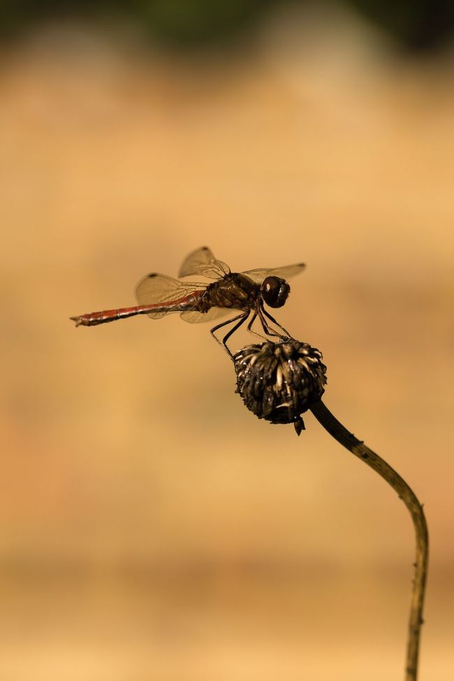 Heidelibelle Dragonfly Common Darter Darter Insect Wildlife One Animal Animal Themes Autumn Animals In The Wild Nature Beauty In Nature Macro Libelle Macro_collection