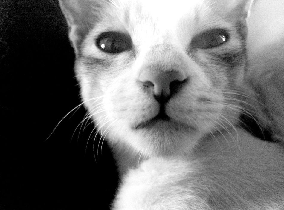 Pets One Animal Domestic Animals Looking At Camera Animal Themes Portrait Animal Head  No People Indoors  Eyeem Black And White Photography Selective Focus EyeEm Best Shots - Black + White Surprised Look PhonePhotography EyeEm Animal Lover Cats 🐱 Lovecats Animal Photography Eyeem Animal Lovers Animal Head  Animal Portrait Domestic Cat Cute Pets😻 Mammal Day