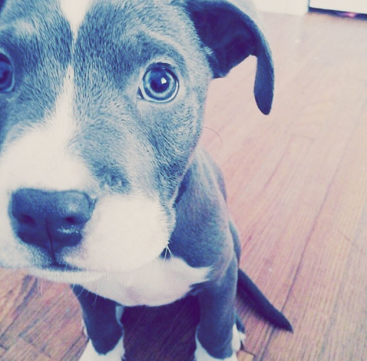 Puppy Pitbull Babypitbull Cutie