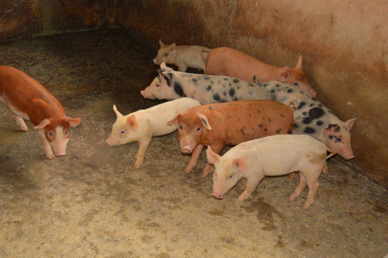 Brown Pig Livestock Mammal Pig Pig Pen Piggy Spotted Pig Young Animal