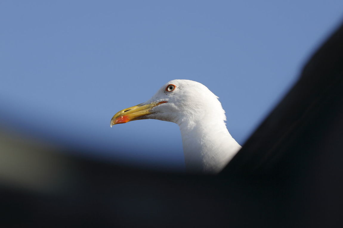 Adapted To The City Mother Seagull Patrolling On The Roof Bird Animal Animal Themes Nature Beak On The Rooftop Animals Sentinel Keeping An Eye Keep An Eye On White Bird Stare Staring Observing Paying Attention Pay Attention Keep Your Eyes Open Animal Theme Birds Angry Birds Stare At