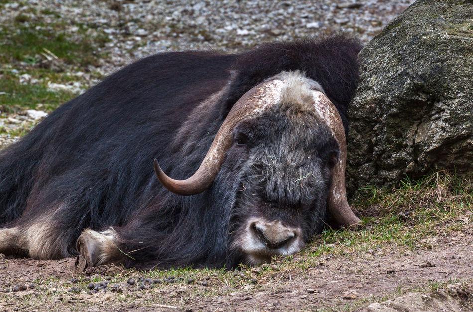Relaxing Frühling 2016 Moschusochse Muskox Musk Ox